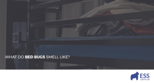What Do Bed Bugs Smell Like?